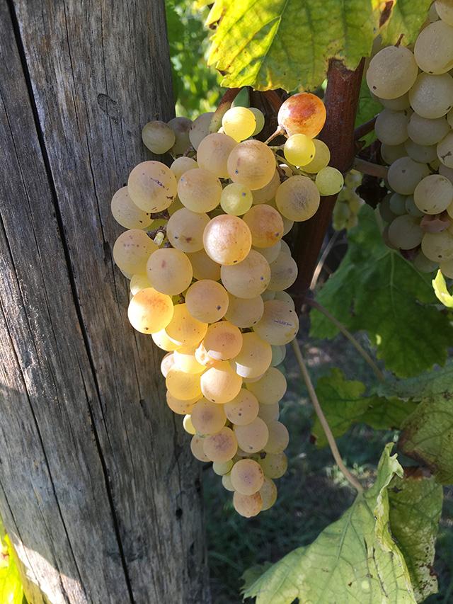 vitigno pallagrello bianco